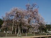 sudousankara-sakura